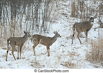 Three Whitetail Bucks In Field - Winter vista on three...