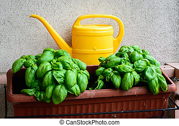 Basil in the balcon - In the picture a vase with young basil...