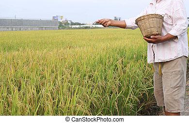 Rice farmer using nitrogen fertilizer on his field in...