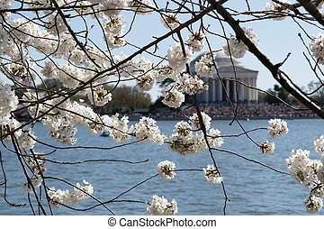 Cherry blossoms covering the Thomas Jefferson Memorial - In...