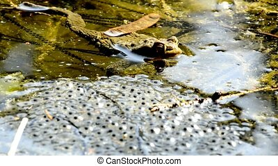 Frog with spawn in a pond