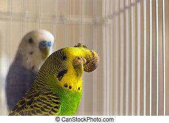Budgerigar with tumor on the head - malignant tumor