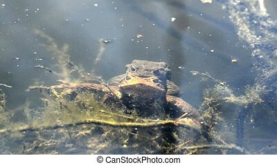 Frogs during reproduction in a pond