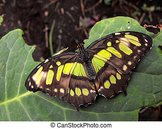 Malachite Butterfly - Malachite Siproeta stelenes wings open...