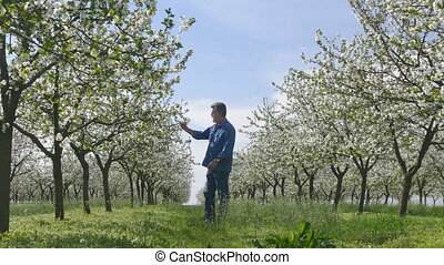 Cherry orchard and farmer in spring