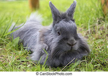 fluffy gray rabbit on the grass