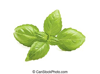 Basil vector illustration