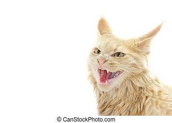 enojado, blanco, Plano de fondo, gato