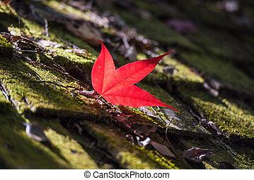 Maple in Autumn Season