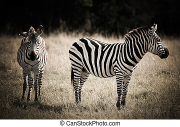 african zebras - zebras couple in the masai mara reverse in...