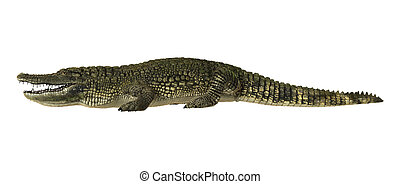 American Alligator - 3D digital render of an American...