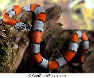 coral snake - a picture of a beautiful coral snake