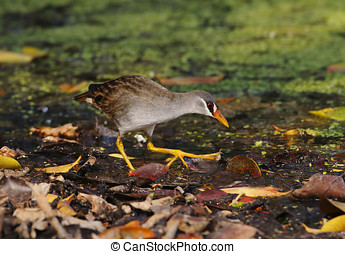 White-browed Crake Amaurornis cinerea