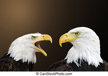 American bald eagle - two bald eagle against a nature...