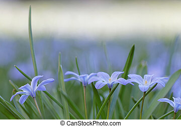 Group of blue scilla flowers. Short depth of focus