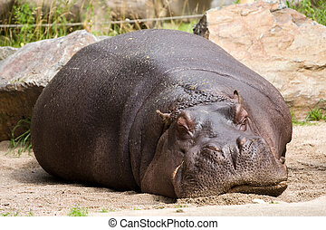 sleeping hippopotamus in the zoo