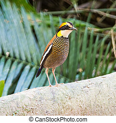 female Malayan Banded Pitta - Colorful banded Pitta, female...
