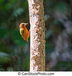Rufous Piculet - Small orange woodpecker bird, Rufous...