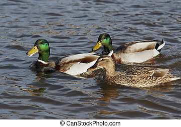courtship - Detail of the ducks floating on the water -...