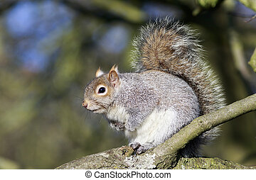 Grey Squirrel (Sciurus carolinensis) perched in a tree