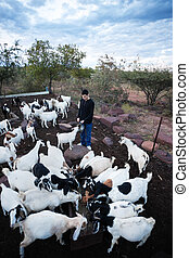 ecotourism - caucasian man feeding a flock of goats in the...