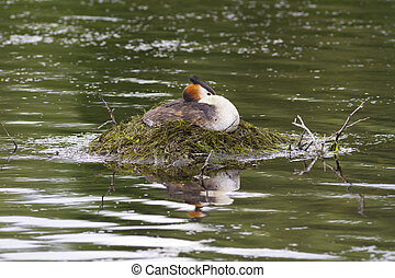 Great crested grebe sat on its nest