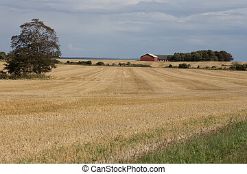 Farm in grain field - A lonely farm in the middle of the...