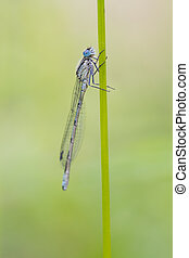 Blue Damselfly ( Enallagma cyathigerum ) perched on a stem