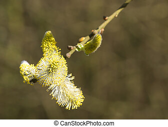 Catkin Willow tree Yellow flower close up