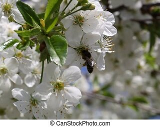 cherry spring flower and a bee