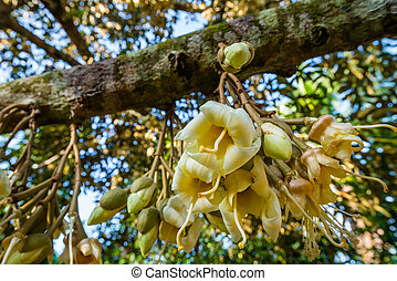 fresh flowers of durian on tree in the orchard - fresh...