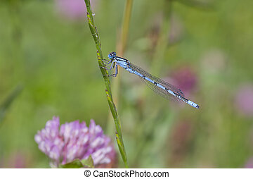 Common Blue Damselfly perched on a grass stem