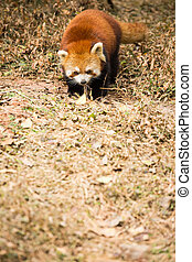 Red panda looking to camera in the nature.