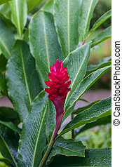 beautiful tropical red ginger flower - A beautiful tropical...