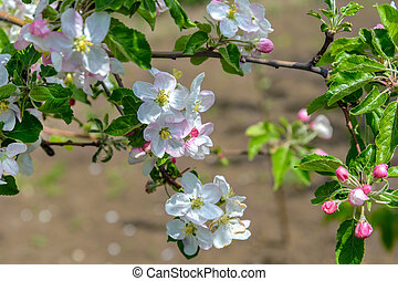 Blossoming branch of a apple tree