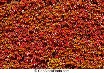 red ivy background