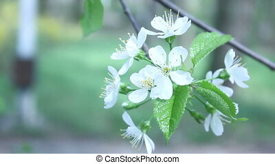 tree branch with white flowers spri