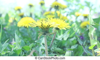 Taraxacum officinale flowers background