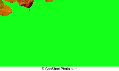 falling from left to right autum leaves green screen
