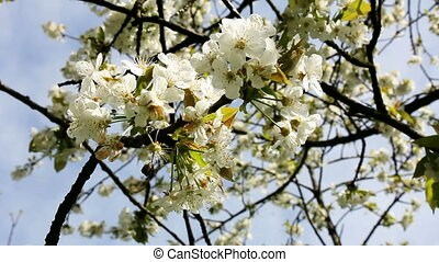 Blossoming cherry branches - The branch of blossoming cherry...