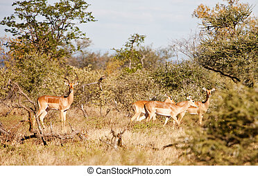 impala antelopes - family of four impala antelopes, in the...