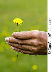 Yellow flower in womans hand nature background