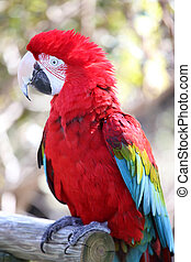 Parrot in closeup - Green-winged Macaw, Ara chloropterus...