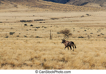 Gemsbok or gemsbuck oryx walking in field - Beautiful...