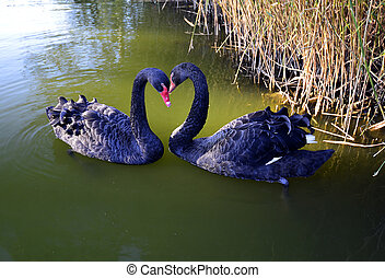 Swan - In the unit there are waterfowl birds large and...