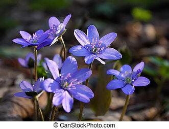 hepatica spring flower - Spring flower macro.Cluster of...