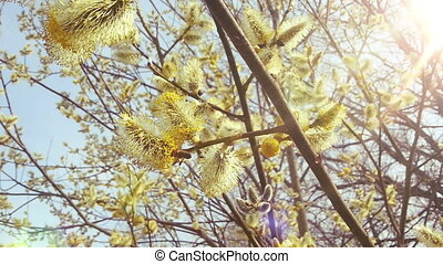 Beautiful Willow in Sunny Spring. Bees and Pollen. HD 1080.
