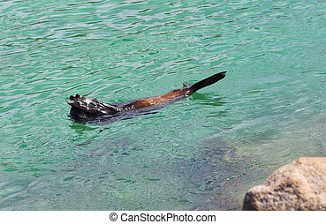 Hide and Seek - Australian Fur Seal (Sea Lion)