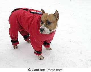 brown-and-white stafford wearing red winter dog suit