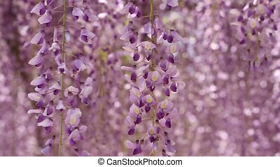 purple wisteria - Wisteria in the Japanese Garden